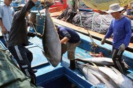 Tạì sao cá ngừ lại trúng vụ trái mùa năm nay
