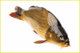 Làm giàu từ nuôi cá chép giòn